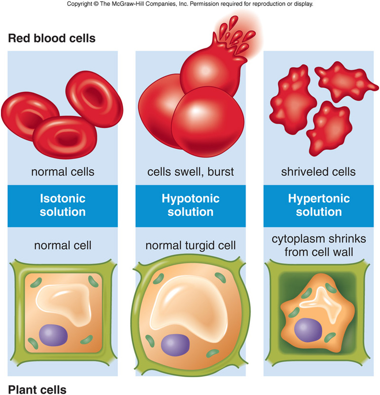 osmosis and red blood cells