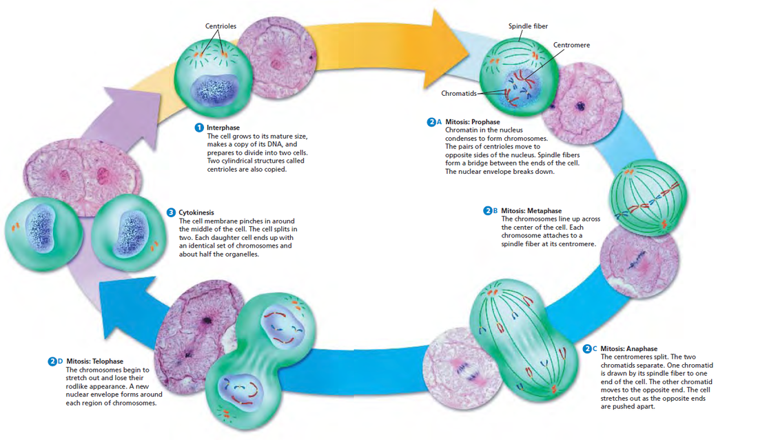 Mitosis cycle diagram all kind of wiring diagrams blog archives weise biology rh weisebiology weebly com cell cycle mitosis diagram worksheet interphase cell cycle diagram ccuart Images
